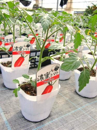 17 5 7 濃密トマト苗 フラガール
