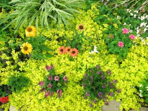 17 7 13 リシマキアオーレアと他 ミニ花壇 2