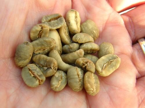 17 11 19 コーヒー生豆 播種